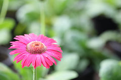 Close up Pink Gerberas flower Royalty Free Stock Image