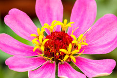 Close up Pink Gerberas flower Royalty Free Stock Photos