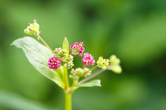 Close up Pink grass flower. In forest Royalty Free Stock Photo