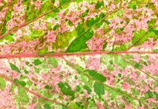 Close up pink  and green color leaf pattern of China Rose leaf Royalty Free Stock Image