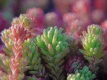 A close-up of pink and green sprouts of Spanish stonecrop, Sedum hispanicum, gleaming in the morning sunlight. A close-up of pink leaves of Spanish stonecrop Stock Photo