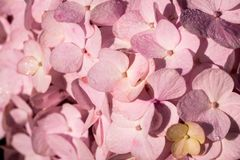 Close-up of A Pink Hydrangea Flower royalty free stock image