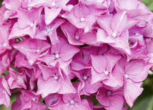Close up pink hydrangea Royalty Free Stock Image
