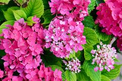 Close up of a Pink Hydrangea Flowers Stock Photos