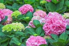 Pink hydrangea flowers in garden,Natural patterns background royalty free stock image