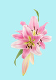 Close up of pink lilies illustration Royalty Free Stock Images