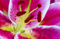 Close up pink lilly. Close up beautiful pink lilly in  nature background Royalty Free Stock Photos