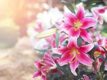 Close up Pink lily flower at farm. Springtime or summer background royalty free stock photography