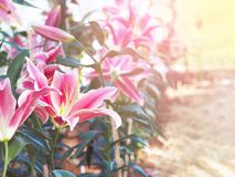 Close up Pink lily flower at farm. Springtime or summer background stock photos