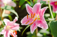 Close up pink lily flower with green leaves in garden Royalty Free Stock Image