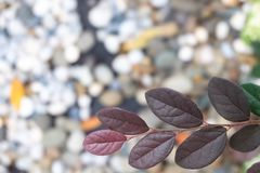 Close up pink Loropetalum chinense leaves with dark magenta leaves. royalty free stock images