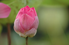 Close up of pink lotus bud Royalty Free Stock Images