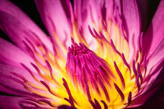 Close up of pink lotus. Close up pink lotus with fallen yellow pollen Royalty Free Stock Photos