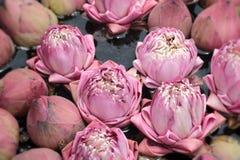 Close up pink lotus flower Royalty Free Stock Images