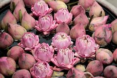 Close up pink lotus flower Stock Photos
