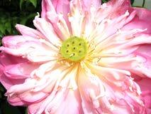 Close up pink lotus flower Royalty Free Stock Photo