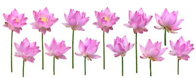 Close up pink lotus flower high resolution isolated on white background.  royalty free stock image