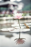 Close-up of pink lotus flower on a lake in China, reflection in the water Stock Images