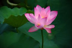 Pink Lotus Flower. The close up of pink lotus flower in shenzhen honghu park, China Stock Photography