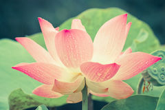 Close up of pink lotus flower Royalty Free Stock Image