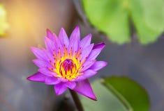 Close up pink lotus flowers blooming in lake Stock Photos