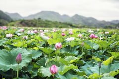 Close-up of pink lotus flowers on a lake in China, mountains in background Royalty Free Stock Photography