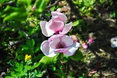 Close-up of pink magnolia flower on a brunch at botanical garden stock photos