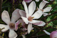 Close-up of pink magnolia flower on a brunch at botanical garden royalty free stock photo