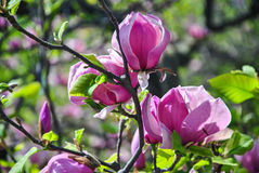 Close-up of pink magnolia flowers on a brunch at botanical garden Royalty Free Stock Photos