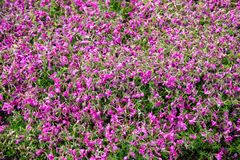 Close-up pink moss field at Shibazakura flower festival royalty free stock photo