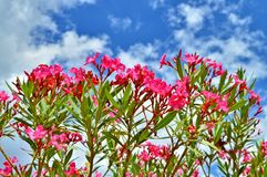 Close-up of Pink Nerium Oleander Flowers, Nature, Macro stock image