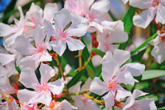 Close up of pink oleanders Stock Image