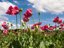 Close up of pink opium poppies Stock Photography