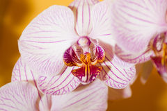 Close-up pink orchid Royalty Free Stock Photos