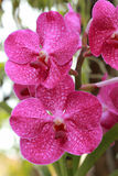 Close up of pink orchid.  Stock Photography