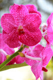 Close up of pink orchid Royalty Free Stock Photography