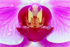 Close up of a pink orchid Royalty Free Stock Photos