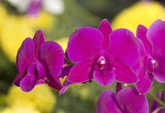Close up Pink orchid Stock Image