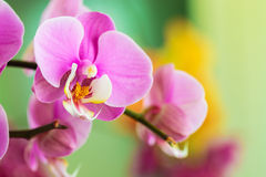 Close-up of pink orchid Royalty Free Stock Photos