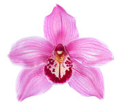 Close-up of pink Orchid flower Cymbidium isolated on white background Stock Photo
