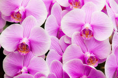 Close-up of pink orchid, Phalaenopsis orchid. Close-up beautiful of pink orchid, Genus is phalaenopsis orchid Royalty Free Stock Images