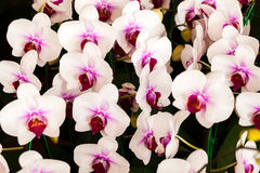 Close-up pink orchid, Phalaenopsis orchid. Close-up beautiful of pink orchid, Genus is phalaenopsis orchid stock photo