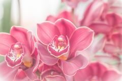 Close up of pink  orchid in soft color and blur style Stock Photography