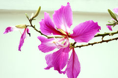 Close up pink orchid tree isolate on white background Royalty Free Stock Photo
