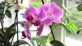 Close-up of Pink Orchid on a Window. 4k Ultra HD stock video