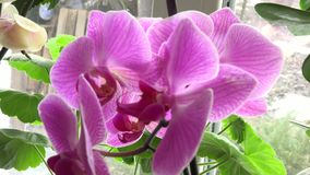 Close-up of Pink Orchid on a Window. 4k Ultra HD stock footage