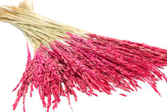 Close up pink paddy  rice, Dry flower decoration Stock Images