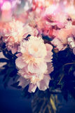 Close up of pink pale peonies Stock Photo