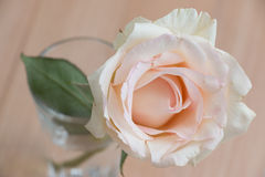 Close up Pink Pastel Rose, isolate Background Royalty Free Stock Photos