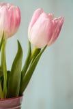 Close up of Pink Pastel Tulip Royalty Free Stock Photo